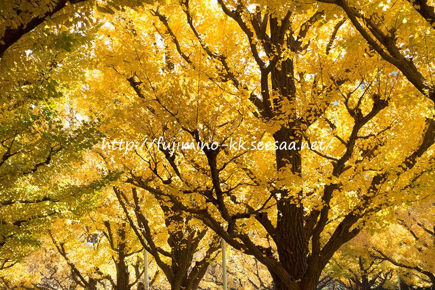 外苑銀杏並木